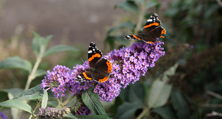 bud-red-admirals.png